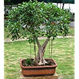 Plant House Live Ficus Benjamina Green Pre Bonsai Plant with POT (More than 1 year old plant)