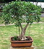 #4: Plant House Live Ficus Benjamina Green Pre Bonsai Plant with POT (More than 1 year old plant)