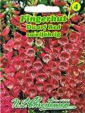 Fingerhut Dwarf Red niedrig, rote Töne'Digitalis purpurea' zweijährig