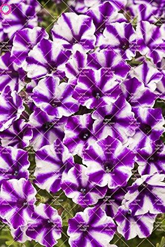 100pcs rares Couleur Petunia Graines Bonsaï Graines de fleurs vivaces Court Taille Jardin Fleurs Graines d'intérieur ou Ourdoor Pot 6 Plante