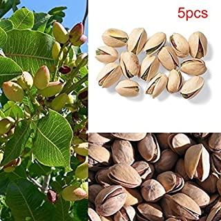 5pcs Seeds of Pistachio Nut Seeds Outdoor Fruit Tree Seeds Tropical Plant Bonsai Seeds Garden Ornamental Easy Grow (5pcs/pack)