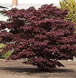 Rarität Winterharter Japanischer Acer palmatum Bloodgood Ahorn ca.60cm Frosthart