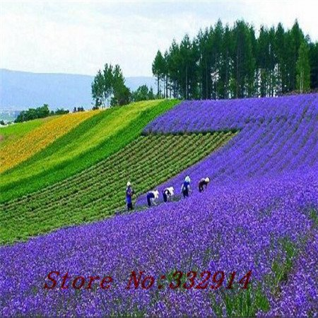 vendita! 100 colore misto salvia fiore seeds.beautiful e facile da coltivare. shiping libero.