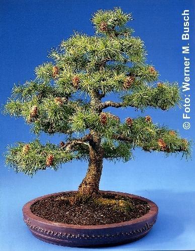 Tropica - Bonsai - Europäische Lärche (Larix decidua) - 75 Samen