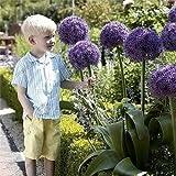 SwansGreen White : Giant Allium Giganteum seeds purple Allium seeds big pompon garden plants bonsai giant series 100 particles/bag