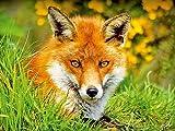 Ein scheuer Rotfuchs versteckt sich im Gras 1000 Teile Puzzle quer (CALVENDO Tiere)