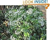 #8: Crassula ovata: jade plant