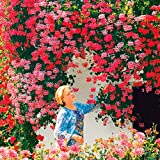 Ultrey Samenshop - 20 Stück Klettern-Geranien Samen seltene Pelargonien mehrjährige Gartenblumen Samen Winterharte Bonsai Topfpflanze für Garten Balkon/Terrasse