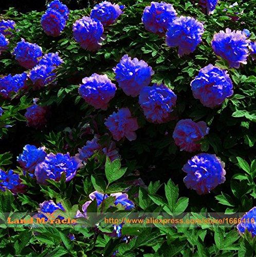 Rare bleu foncé fleur de pivoine plante chinoise Graines Seedling, 5Seeds / Pack, forte Fragrant Belle Fleur Bush pour Balcon Jardin