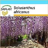 SAFLAX - Geschenk Set - Afrikanischer Blauregen - 15 Samen - Bolusanthus africanus