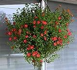 Creative Farmer Nonia - Best Hanging Flower Seeds For Home Garden