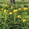 Kaiserkrone, Fritillaria imperialis 'Lutea Maxima'. von VDG-Stauden bei Du und dein Garten