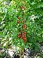10 Samen Rispentomate Mini-Roma - hoher Ertrag, kurze Reifezeit