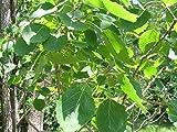 5 Samen von Großzähnige Pappel Bigtooth Espe