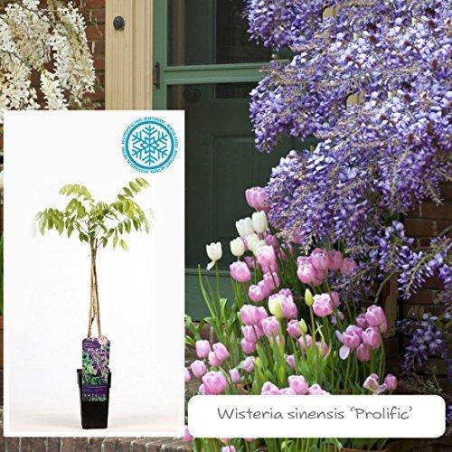 Inter Flower -Garten Blauregen,Japanischer Blauregen1 Pflanze Wisteria sinensis Prolific,blau, Kletterpflanze, Winterhart, Gartenpflanze