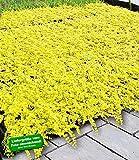 BALDUR-Garten Winterharter Bodendecker Lysimachia 'Aurea' Goldgelbes Pfennigkraut, 3 Pflanzen