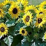 Seekay Girasol Enano Sunspot - Aprox 80 Semillas - Helianthus Annuus - Anual - Flores - Semillas