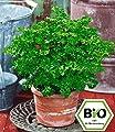 BALDUR-Garten BIO-Petersilie, kraus,1 Pflanze Petroselinum crispum von Baldur-Garten bei Du und dein Garten