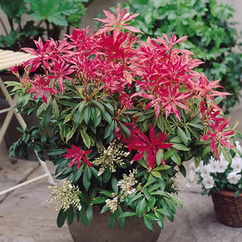 1-x-pieris-forest-flame-evergreen-shrub-hardy-garden-plant-in-pot