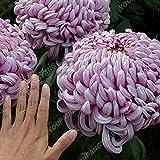 100 PC / pack Aster Samen Aster-Blumen Bonsai Blumensamen Regenbogen Chrysanthemum Samen Stauden Blumen Hausgarten Pflanze Chrysanthemum Samen