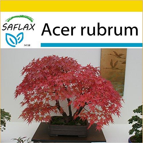 SAFLAX - Set per la coltivazione - Acero rosso - 20 semi - Acer rubrum