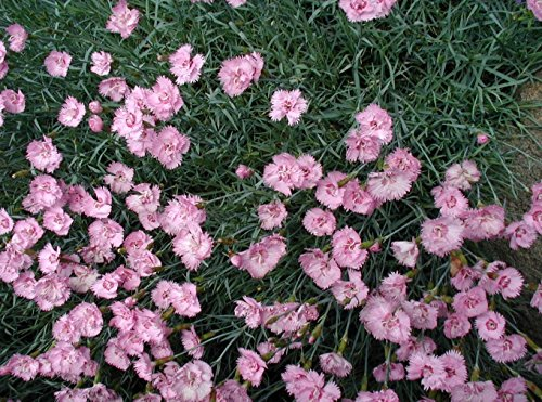dianthus-flower-seed-collection-sweet-williams-pinks-carnations-chinese-pinks-fringed-pink-5-seed-pa