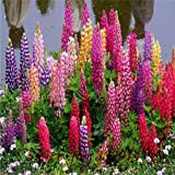 50 púrpura gigante Allium giganteum semillas raras de flores para la casa Jardín de Plantas