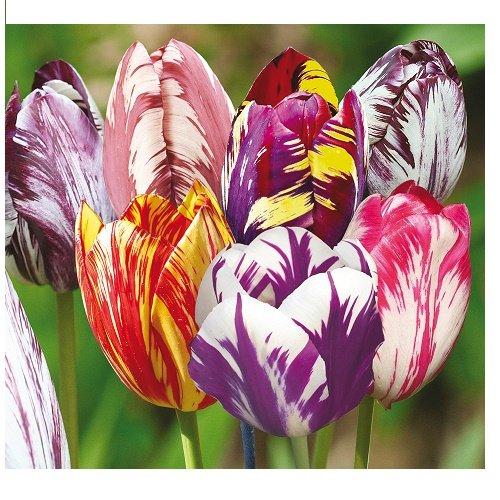 lot-de-3-bulbes-tulipes-rembrandt-mix-cameleon-taille-10-a-40-cm
