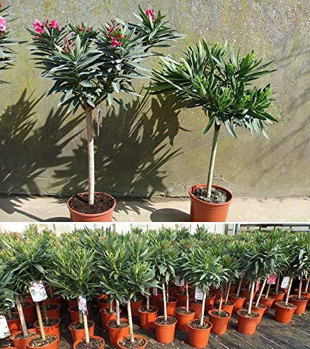 Oleander Blütezeit: Von Juni bis September