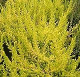 Calluna vulgaris David Hagenaars - Sommerheide David Hagenaars - Besenheide - einfache rosa Blüte - Calluna Stückzahl Rabatt 10er-Paket