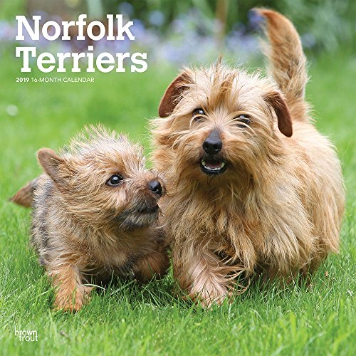 Norfolk Terriers 2019 - 18-Monatskalender mit freier DogDays-App (Wall-Kalender) (Norfolk Terrier)