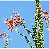 Fouquieria diguetii árbol de Ocotillo de Adán Candlewood rara semilla suculenta 10 SEMILLAS