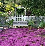 400 Creeping graines d'herbes de thym, couvre-sol fleur décoration de jardin