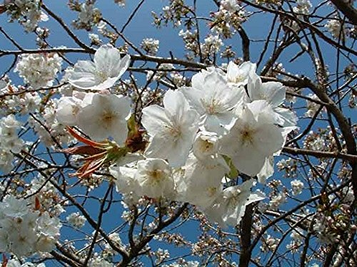 prunus-tai-haku-japanese-flowering-cherry-tree-6-ft-supplied-in-a-75l-potted