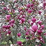 Magnolia x soulangeana [Vaso Ø21cm | H. 50 cm.]