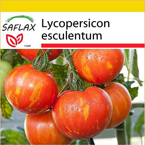 SAFLAX - Kit de culture - Tomate Tigerella - 10 graines - Lycopersicon esculentum