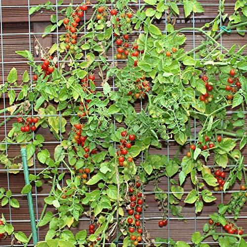 10 Samen Sweet Pea Tomate – Mini-Kirschtomate, Massenertrag