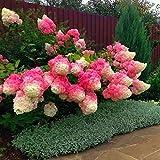 KINGDUO 20Stk Hortensie Blume Samen Vanille Erdbeere Samen Für Im Freien Zu Hause Pflanzung Bonsai-Rot