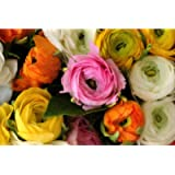 50 Rampant Ranunculus Bulb Collection. Perfect for March to June Planting for 2-3 Months of Glorious Summer Colour Every…
