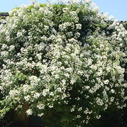Kiftsgate, rosa in vaso di rose barni®, pianta rampicante di gran pregio, vigorosa, unica fioritura a grappoli, fiori semplici moderato profumo. h.raggiunta fino a 5 metri, resistente, cod. 14033