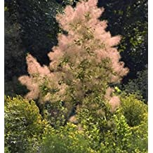Grüner Perückenstrauch Young Lady 30-40cm Cotinus coggygria