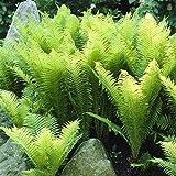 Shopmeeko Doppel 11 Freies Verschiffen 100 stücke Japanische Seltene Strampler Boston Farn bonsai Reben Gras Laub Pflanzen Zierpflanze Bonsai bonsa: Army Green