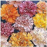 Lot de 100 graines Oeillet des fleuristes Fantasy Picotée en mélange - plante annuelle