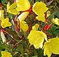 Nachtkerze Hohes Licht - Oenothera tetragona von Baumschulen auf Du und dein Garten