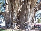 Mexikanische Sumpfzypresse 10 Samen -Der Gigant- Selten -Taxodium mucronatum-