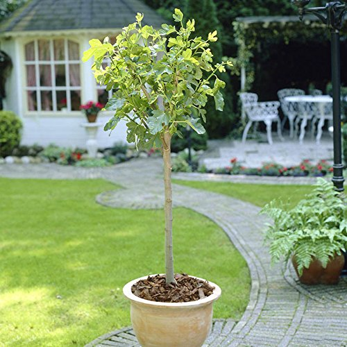 the-chelsea-fig-fruit-tree-in-a-4l-pot-to-grow-your-own-edible-fruit