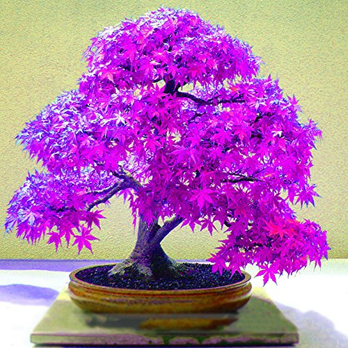 WuWxiuzhzhuo Beautiful Purple 20 Stück Ahorn Samen, Home Garden Yard Bonsai Pflanzen Ornament 1