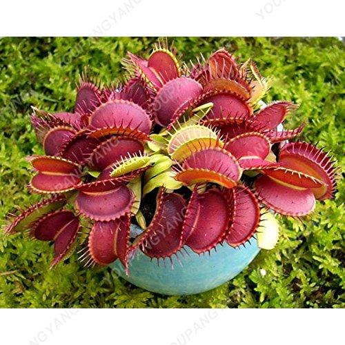 50 Pcs Jardin Plante en pot Flytrap graines Bonsai Dionaea géant Graines clip Dionée Plante carnivore Plante Graines de Purple