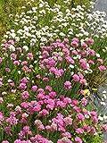 Armeria maritima - Grasnelken weiß und pink, 24 Pflanzen im 5/6 cm Topf
