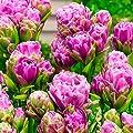 Tulpe Violet Pranaa von Gärtner Pötschke bei Du und dein Garten